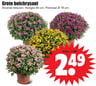 Grote bolchrysant
